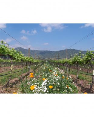 Eco Blance『ソーヴィニヨン・ブラン(Sauvignon Blanc)』見る